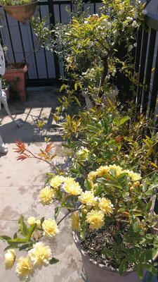 最初に咲いたのはバロックオーボエのアリコさんから挿し木してもらったモッコウバラ。黄色と白。