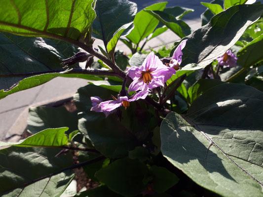 Fleurs d'aubergine [05/07/18]