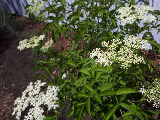 Sureau du Canada en fleurs [22/06/18]