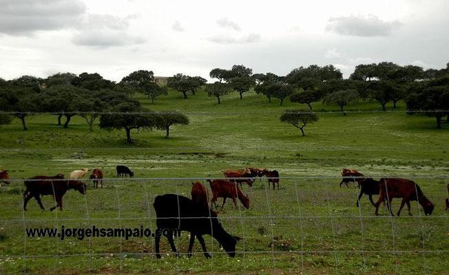 Gado Caprino nas pastagens - Barrancos 2014