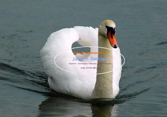 Cisne - Geneve