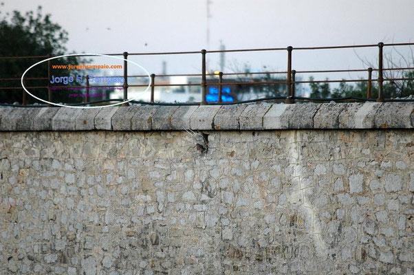 Falcão - Ninho na Ponte do Caminho de Ferro (Tavira)