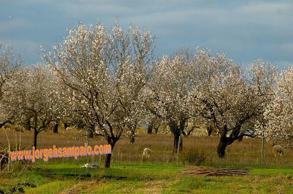Amendoeiras em Flôr