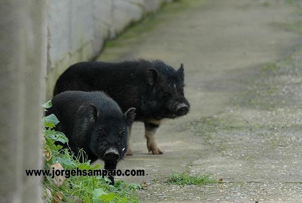 """Porcos """"Vietnamitas"""" à solta em Tavira (Caminho da Barreta)"""