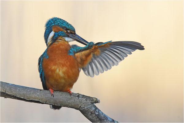Eisvogel (Foto: Herbert Henderkes)