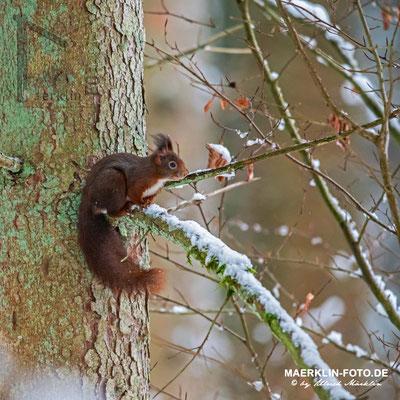 Eichhörnchen, Heckengäu