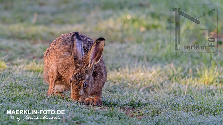 Feldhase (lepus europaeus), Heckengäu
