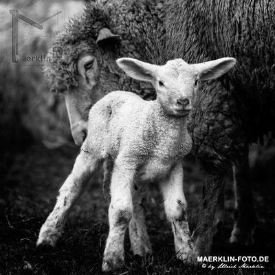Lamm mit Mutterschaf, Heckengäu