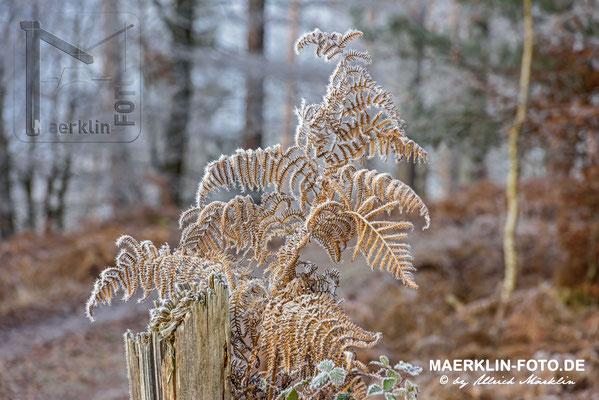 Frost im Naturpark Schönbuch, überreifter Farn