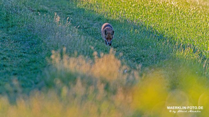 Rotfuchs (Vulpes vulpes) bei der Rückkehr von der Jagd zwischen den Feldern, Heckengäu, Baden-Württemberg