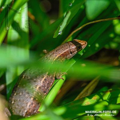 Waldeidechse (Zootoca vivipara, Syn.: Lacerta vivipara)