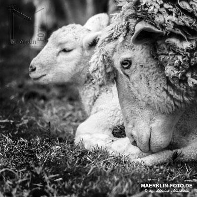 Mutterschaf mit Lamm, Heckengäu