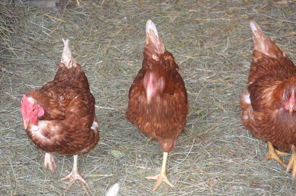 das Hühnermobil wird inspiziert
