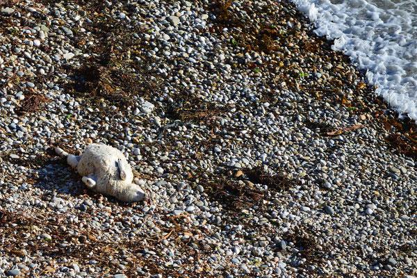 Verunglücktes Schaf an einer Steilküste