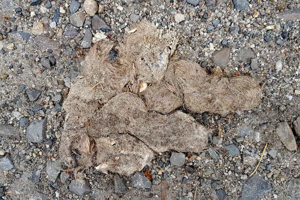 Ältere Wolfslosung mit unverdauten Knochenstückchen und Krallen der Beutetiere