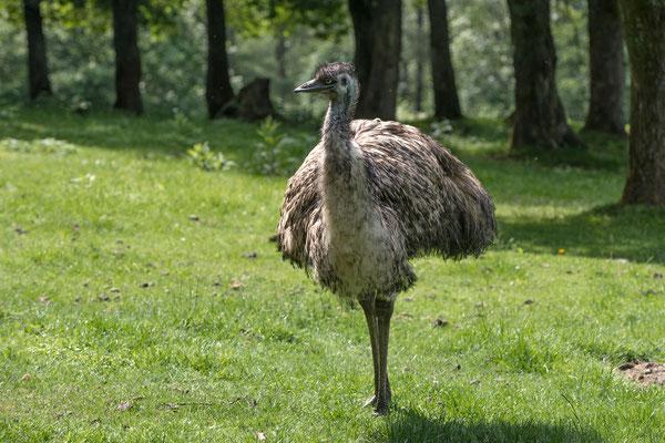 Was hat hier ein australischer Emu zu suchen?