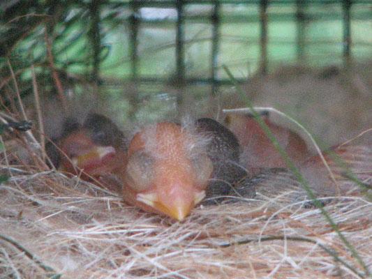 4 Tage alte Jungvögel - vorn ein eumo-pastell Weibchen