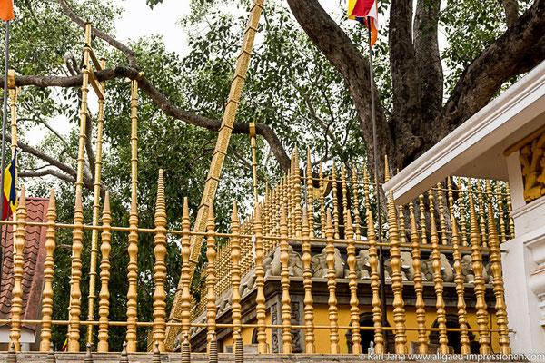 Der Bodhibaum