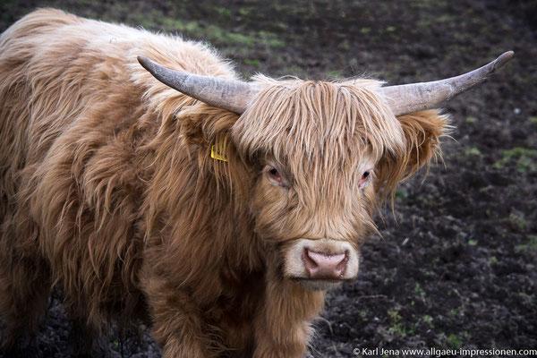 Galloway, Schottisches Hochlandrind