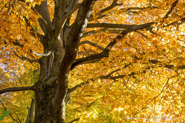 Buche im Herbst