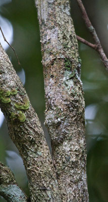 Flatleaved gecko