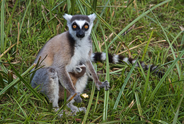 Katta lemur with baby