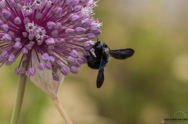Blauschwarze Holzbiene (Xylocopa violacea)