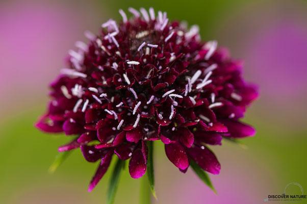 Purpurskabiose (Scabiosa atropurpurea)