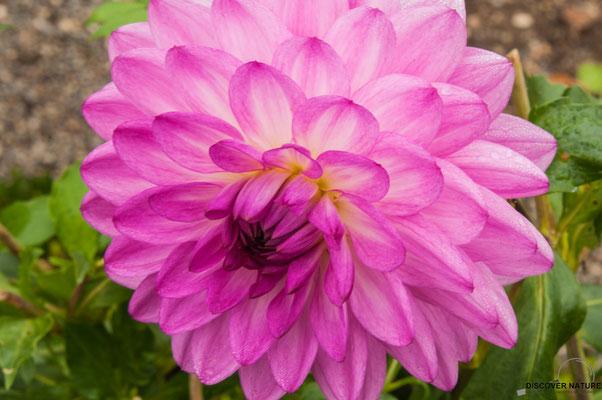 Lilac Ball (Seerosen - Dahlie)