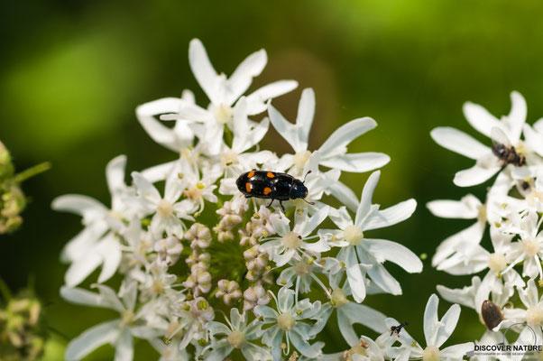 Gartenglanzkäfer (Glischrochilus hortensis)