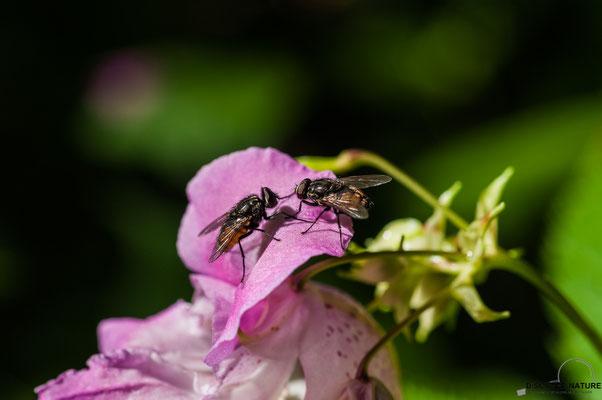 Gemeine Stubenfliegen auf drüsigem Springkraut
