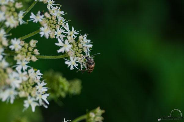 Gefleckte Blütenbock (Pachytodes cerambyciformis)