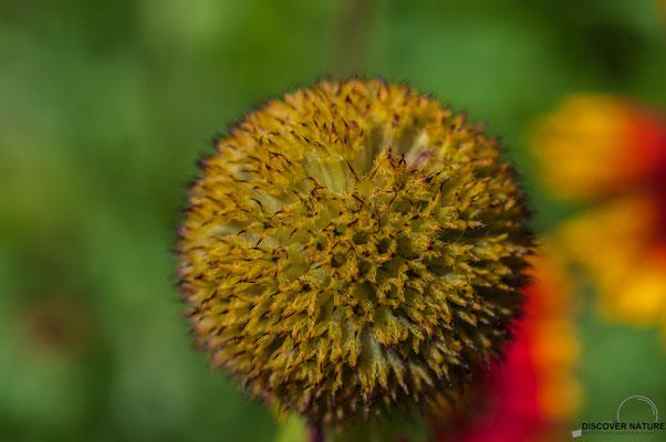 Kokardenblume (Gaillardia aristata)
