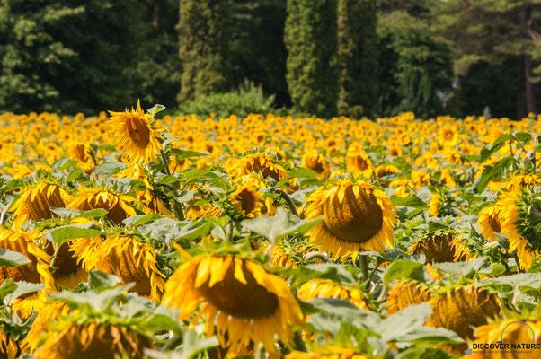 Sonnenblumefeld - Kanton Zürich