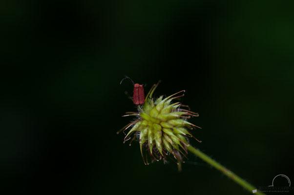 Scharlachrote Netzkäfer (Dictyoptera aurora)
