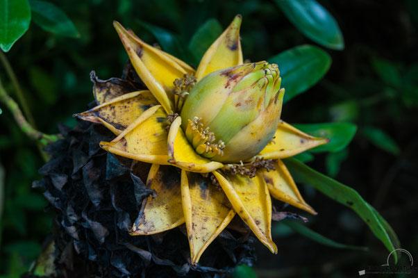 Goldenen Lotus-Banane (Musella lasiocarpa)