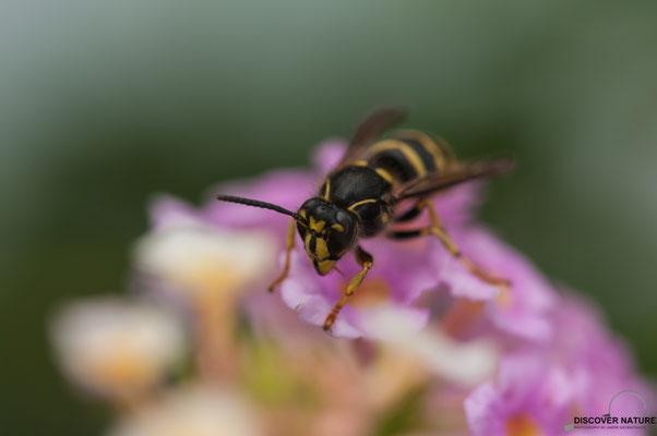 Gemeine Wespe (Vespula vulgaris) auf Wandelröschen