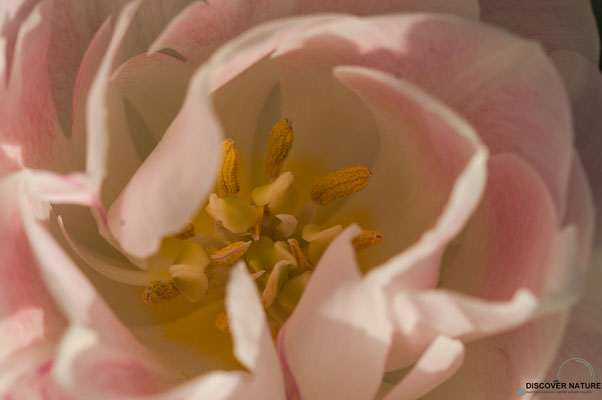 Rosa-Weisse Tulpen