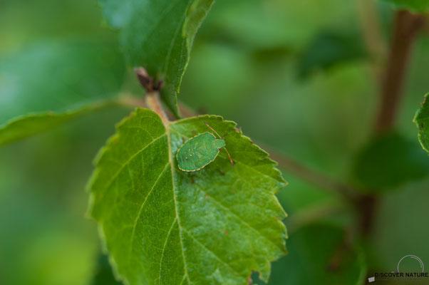 Grüne Baumwanze auf Blatt
