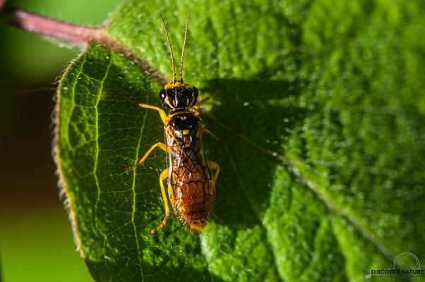 Blattwespe (Pamphilius sp.)