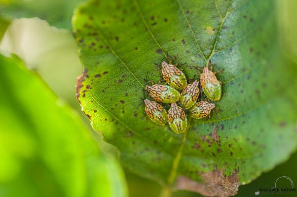 Nymphen der Fleckige Brutwanze (Elasmucha grisea)