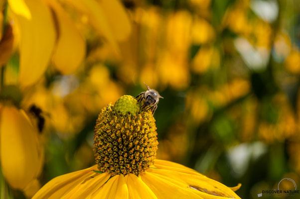 Europäsische Honigbiene