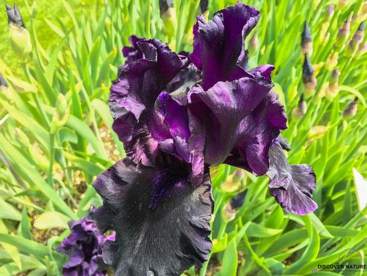 Iris (After Dark)