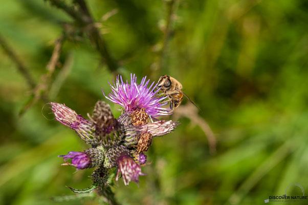 Gemeine Keilfleckschwebfliege und Larven der Blattwanze auf Ackerkratzdistel