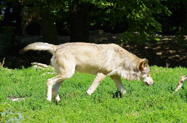 Wölfe im Wildpark Bad Mergentheim bei der Fütterung 2014