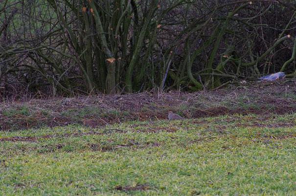 Rebhühner sind sehr gut getarnt. Auf diesem Bild und im nächsten sind jeweils zwei zu sehen.