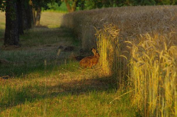 Im Herbst lebt sich´s am besten: Deckung und Nahrung ist ausreichend vorhanden.