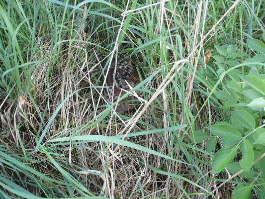 in ca. 80 cm Entfernung den Grund für das Schnuppern entdeckte: ein bestens getarntes, von der Rehgeiß  abgelegtes Rehkitz!