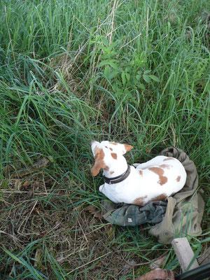 Vor einigen Jahren legte ich meine Beagle-Hündin Silva beim Ansitz am Hochsitz ab, ...
