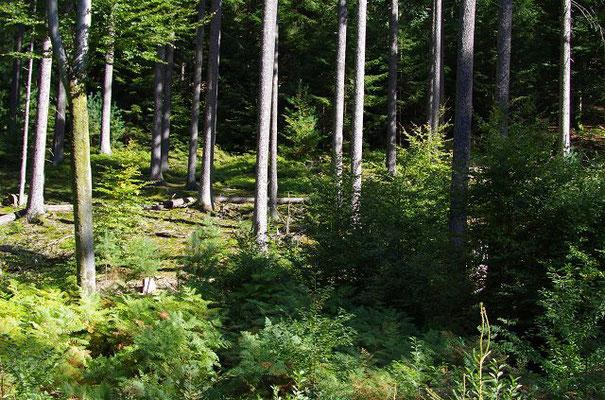 Wenn wir die Rehwildbestände an den Lebensraum anpassen, haben wir deutlich weniger Rehwildunfälle und der Wald wächst kostenlos!